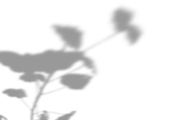 Fondo dell'ombra della pianta di estate. ombra del fiore della felicità euforbia sul muro bianco. bianco e nero per una foto o un modello di geranio.