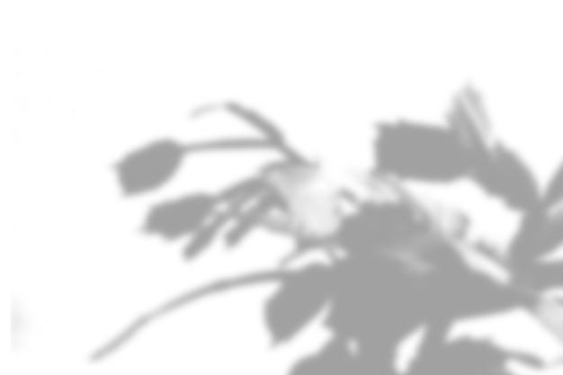 Fondo dell'ombra della pianta di estate. ombra del fiore di zygocactus sul muro bianco. bianco e nero per sovrapporre una foto o un mockup.