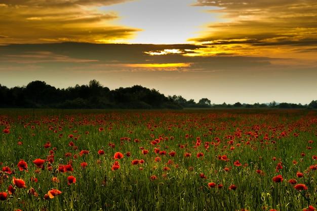 Campo di papaveri estivi al tramonto