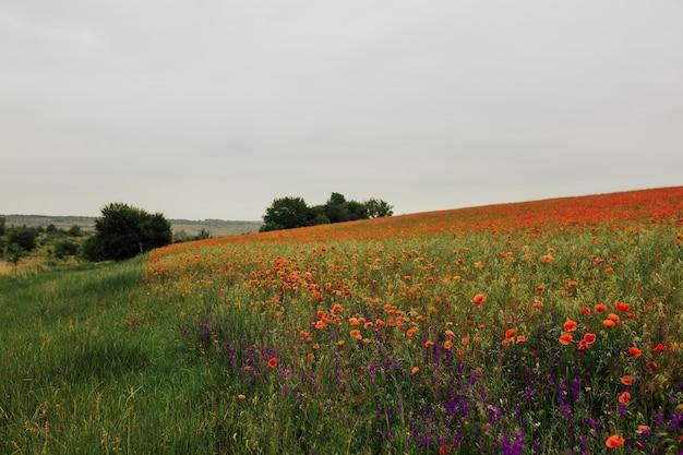 Campo di fiori di papavero scarlatto di estate
