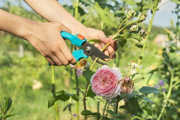 Giardinaggio stagionale estivo, mani di donna con cesoie che tagliano fiori appassiti