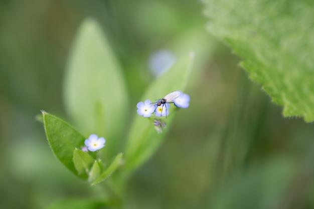 Bello fondo della natura della primavera o di estate. piccola mosca sul fiore blu. focalizzazione morbida