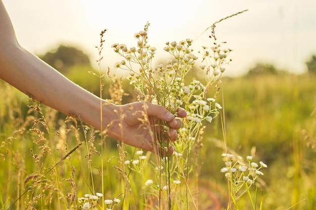 Estate prato selvatico erba e fiori in mano ragazza, primo piano, natura, ecologia, stagione estiva