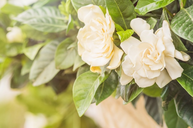 Estate. primo piano di fiori di gelsomino in un giardino