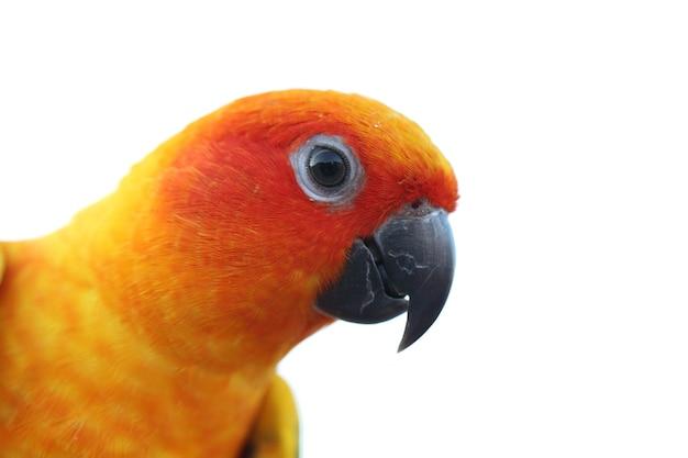 Uccello conuro del sole