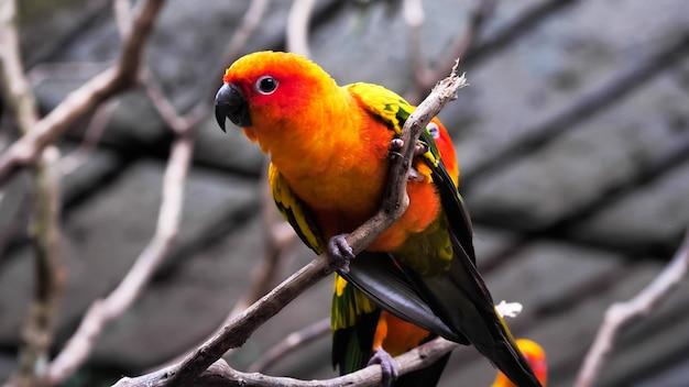 Uccelli di conuro di sun che tengono i rami nello zoo.