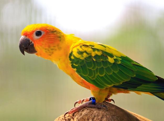 Uccello del pappagallo del conuro del sole sul ramo