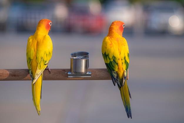 Conuro del sole uccelli pappagallo su legno