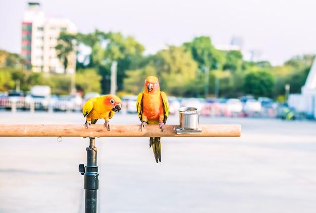 Uccelli pappagallo conuro del sole su barra di legno con ruota gigante sfocata sullo sfondo