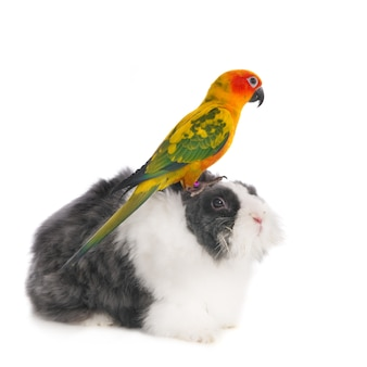 Sun conure sun parakeet (aratinga solstitialis) seduto su un coniglio. isolato su bianco.