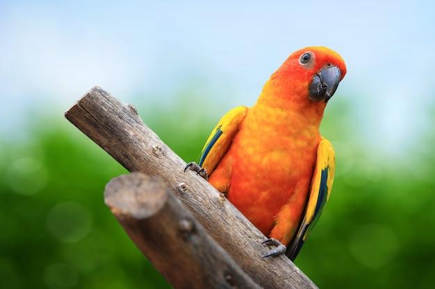 Sun conure (sun parakeet) su sfondo verde