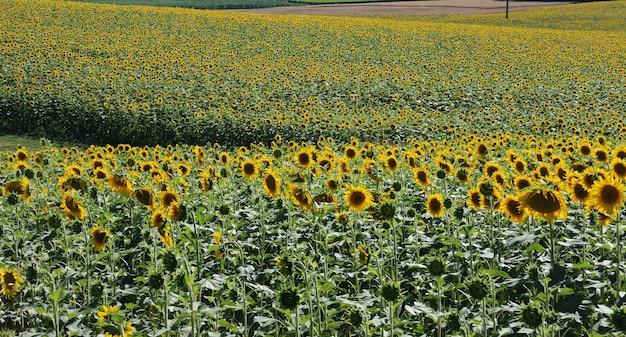 Campo di fiori del sole
