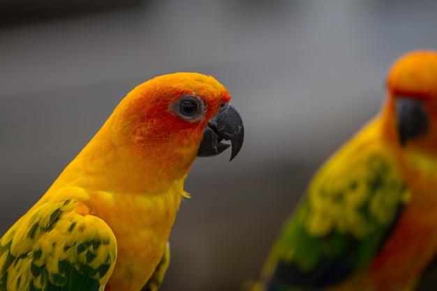 Sun parakeet o sun conure pappagallo, bellissimo uccello pappagallo giallo e arancione