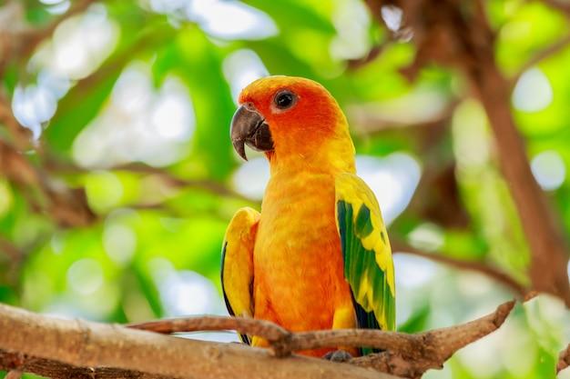 Sun parakeet o sun conure pappagallo sull'albero.