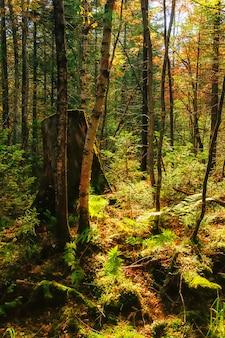Raggi di sole dal sole che splende tra gli alberi della foresta verde con l'erba verde cespugli di felce