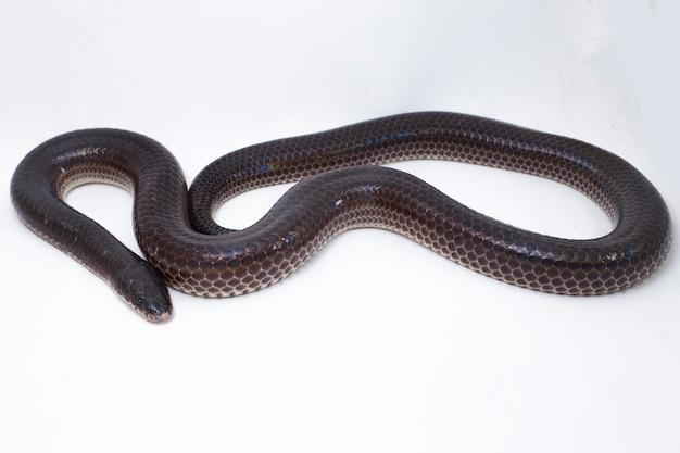 Serpente di raggio di sole isolato