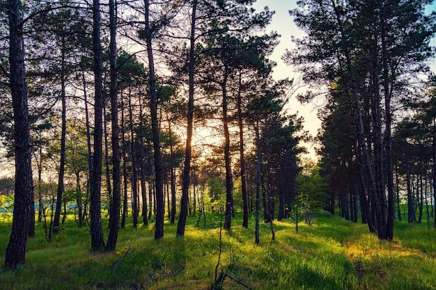 Raggi di sole in una pineta