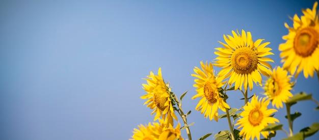 Girasole in fiore nella fattoria con cielo blu, campi dorati.