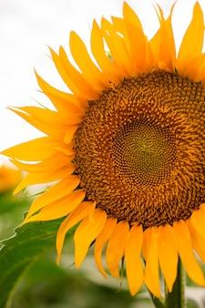 Fioritura del girasole, sfondo naturale del fiore. tempo di raccolta agricoltura agricoltura produzione di olio.