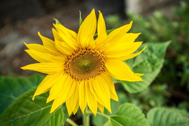 Particolare del girasole in primavera durante la fase di crescita