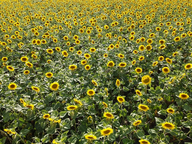 Campo di girasole, gambi di girasole in fiore sul campo sotto il sole cocente.