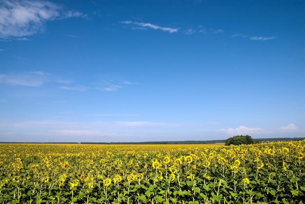 Campo di girasole nel cielo blu