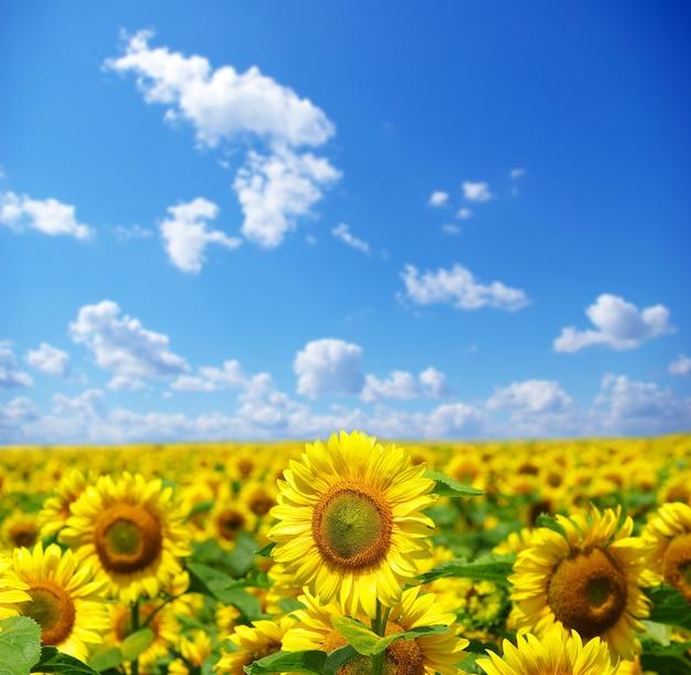 Campo di girasoli su nuvoloso cielo blu