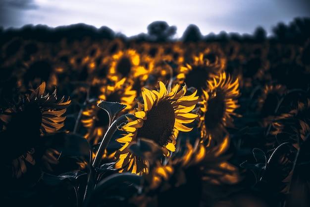 Campo di girasoli al tramonto, tanti girasoli