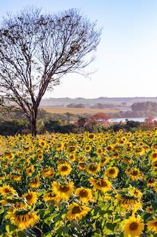Campo di girasoli - veduta di una piantagione di girasoli - girasoli fioriti Foto Premium