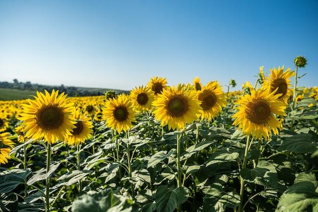 Campo di girasoli con bellissimi fiori gialli da vicino