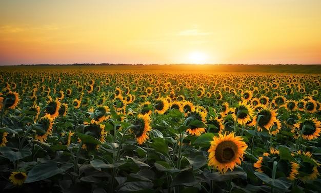 Campi di girasole durante il tramonto. composizione digitale di un'alba su un campo di girasoli gialli dorati.