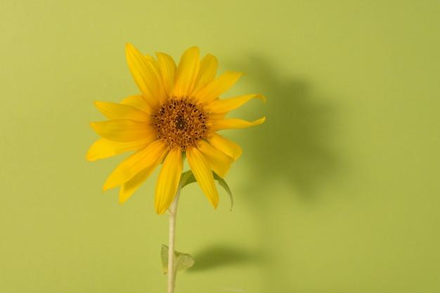 Girasole su uno sfondo di carta verde sfondo floreale minimalista