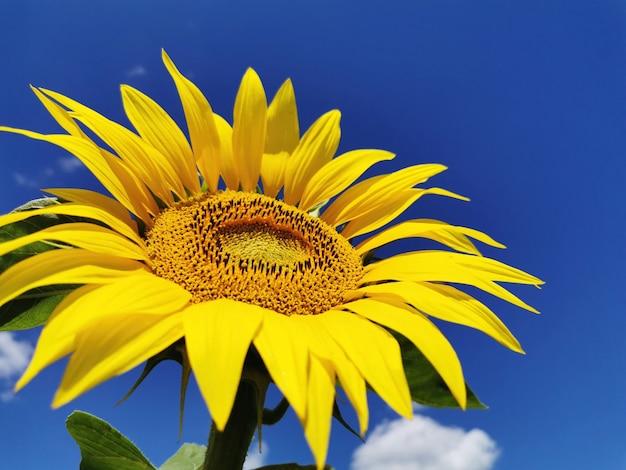 Testa di girasole da vicino con contro il cielo blu. una pianta agricola che viene utilizzata per produrre olio di semi di girasole e altri prodotti utili