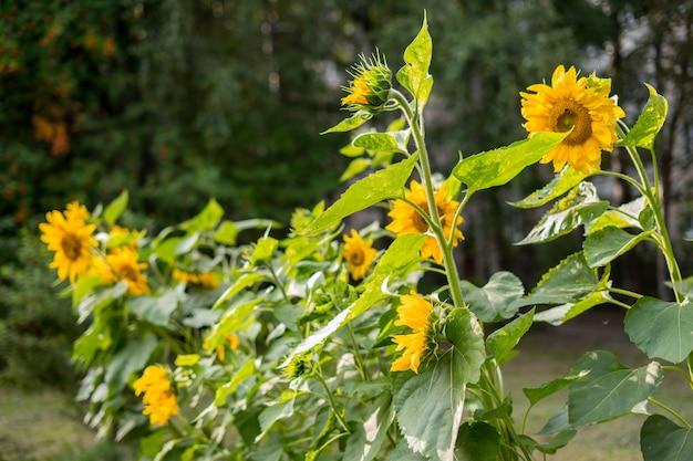 Primo piano di fioritura del girasole dello sfondo naturale del girasole del girasole