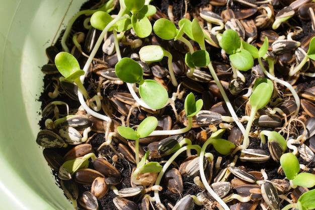 Germogli della pianta del girasole che germinano nel terreno