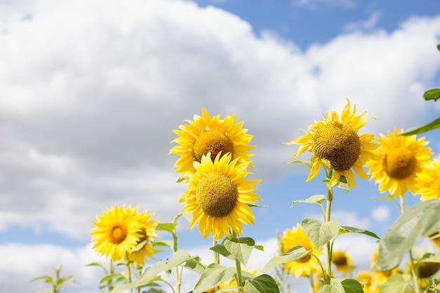 Semi di girasole. campo di girasoli, olio di girasole in crescita bellissimo paesaggio di fiori gialli di girasoli contro il cielo blu, copia spazio agricoltura