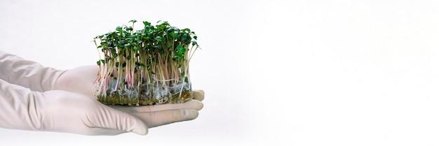 Germogli di girasole nelle mani, germogli crudi, microgreens, concetto di cibo sano