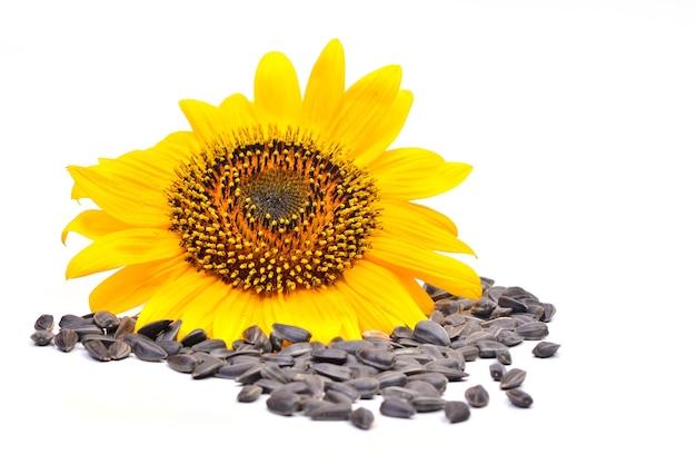 Girasole con semi su sfondo bianco