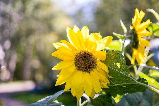 Primo piano giallo girasole vista dal basso foto un fiore illuminato dalla luce solare intensa
