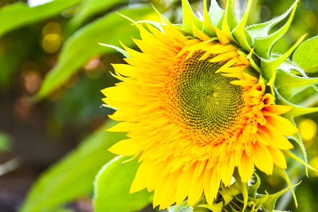 I girasoli stanno fiorendo in un campo alla luce del sole di inizio autunno, bei girasoli in giardino con raggi di sole, priorità bassa della natura all'aperto di estate. copia spazio, foto orizzontale