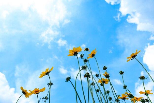 I girasoli sbocciano sotto il bel cielo e le nuvole