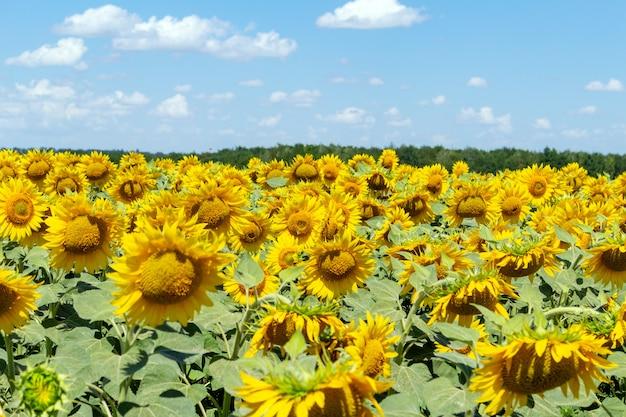 Girasoli sul cielo blu, agricoltura agricoltura economia rurale concetto di agronomia