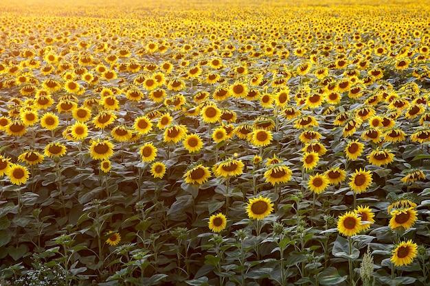 Campo di girasoli sul tramonto