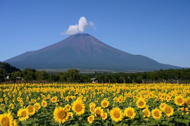 Campi di girasoli, campo di girasoli con montagne sullo sfondo