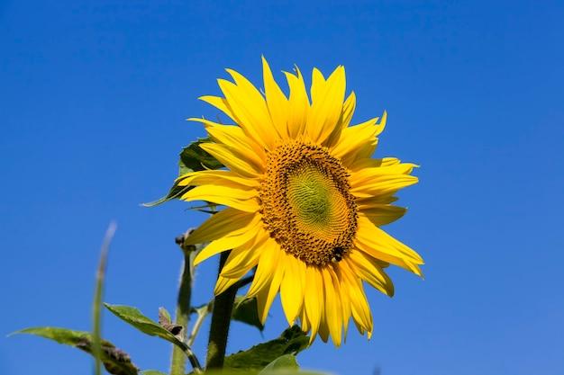 Fiore di girasoli sul cielo blu