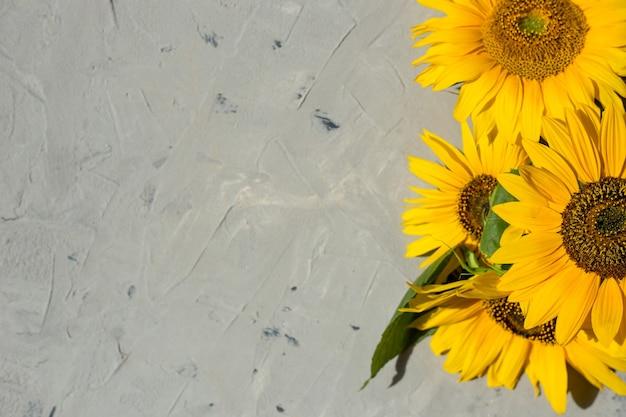 Girasoli su uno sfondo grigio. copia spazio, piatto, vista dall'alto. concetto autunnale o estivo, tempo di raccolta, agricoltura.
