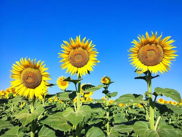 Girasoli che crescono in fiore sul campo il giorno d'estate. sfondo della natura