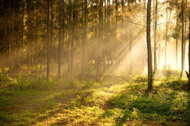 Luce del sole che irrompe tra gli alberi e i raggi di luce