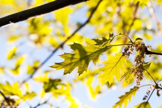 Luce solare che illumina giovani foglie di quercia in primavera, primo piano contro un cielo blu