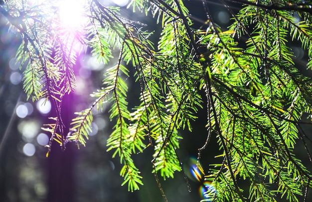 Primo piano di rami di conifera verde soleggiato. ramo di abete. aghi freschi verdi sull'abete. sfondo per una cartolina di natale